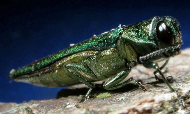EmeraldAshBorer1
