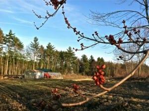 spring maple buds