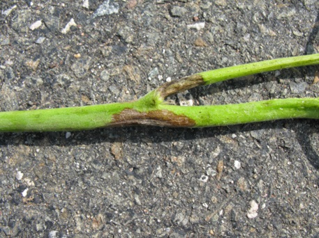 late blight stem