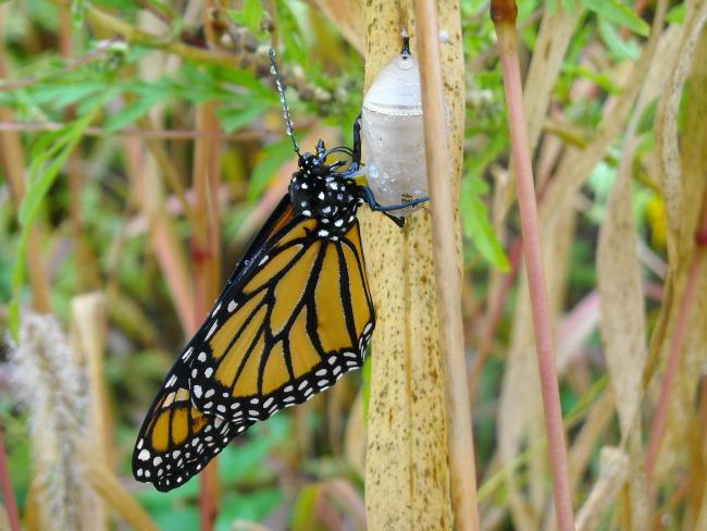 monarch-just-out-belden1