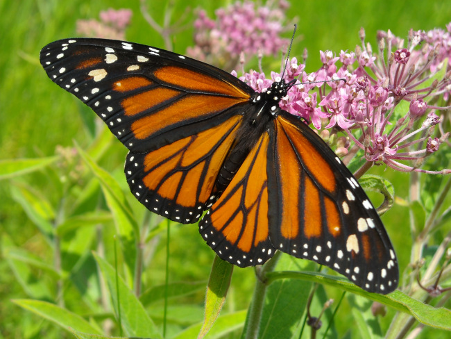 monarch-on-joe-pye-weed