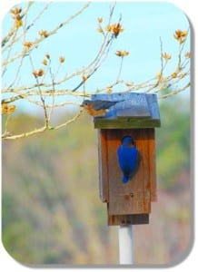 bluebirds on box