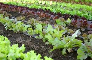 clemson lettuce