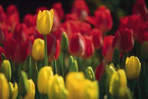 Iowa tulips