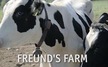 Freund cow