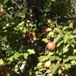 Pick Your Own Apples – Avoid Those with Bird Droppings