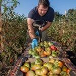 veteran harvesting vegetables