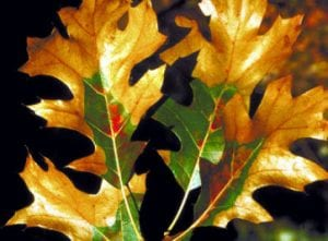 oak wilt leaf