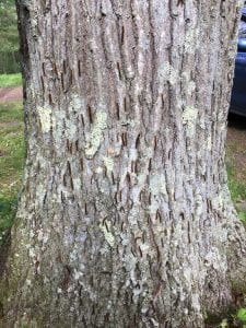 dead caterpillars on tree