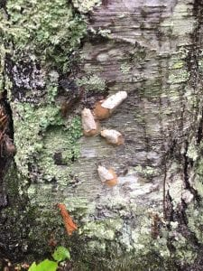 gypsy moths on tree