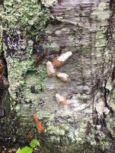 gypsy moths on tree