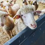 Sheep Shearing School