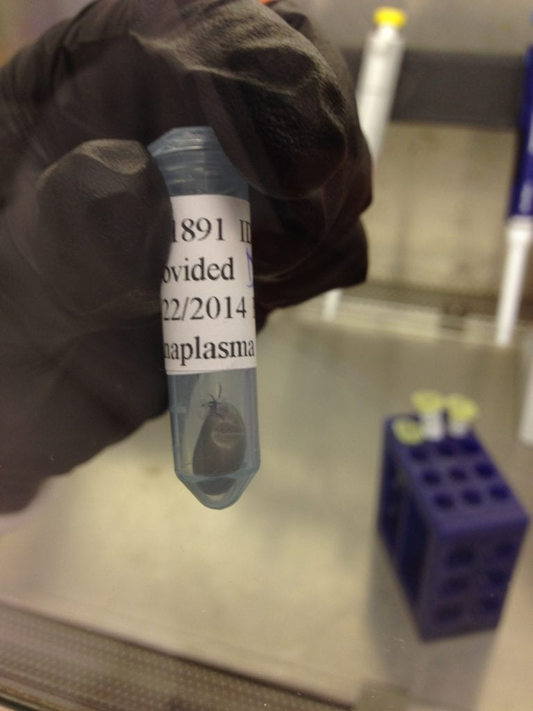 ticks being tested for Lyme disease at UConn lab