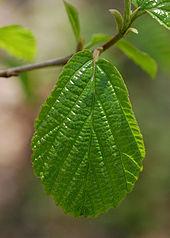 common witch hazel leaf