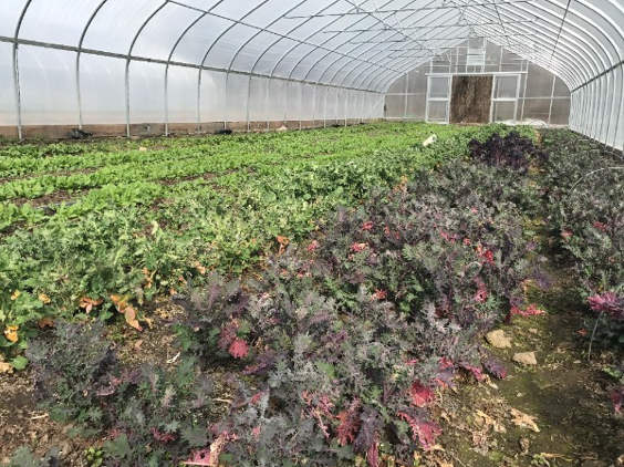spinach and greens being grown in greenhouse