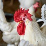 Chicken Questions?