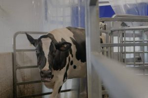 dairy cow coming out of milking parlor