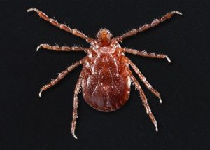 A female longhorned tick (Haemaphysalis longicornis). Credit/ James Gathany/CDC/Anna E. Perea2018