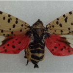 CAES Finds Spotted Lanternfly in Farmington