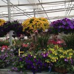 Bedding Plant Program for Greenhouse Growers Offered