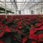 Poinsettias: From Production to Decoration