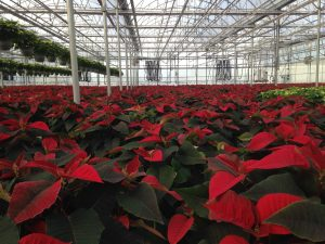 poinsettias in a Connecticut greenhouse