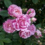 pink roses in a natural garden in West Hartford