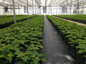 poinsettias growing in the greenhouse