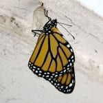 Monarch Butterfly Series