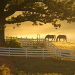 horses in early morning light at UConn