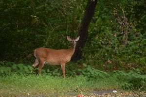 female whitetail deer in Woodbridge, CT