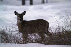 whitetail deer looking at camera in snow