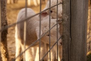 lambs looking through fence in barn
