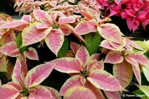 pink and cream poinsettias