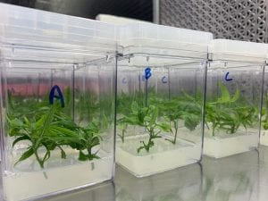 hemp plants growing under glass in a UConn CAHNR research lab