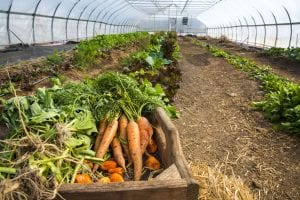 vegetables in a wheelbarrow in a greenhouse