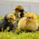 three chicks in the grass