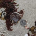 scallop shells on a Connecticut beach