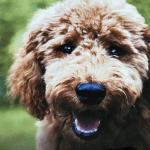 fluffy dog smiling at the camera