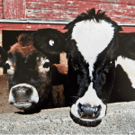 Jersey and Holstein heifers looking at camera with red barn in background