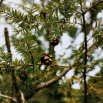 small pine cones on pine tree branches