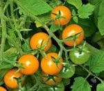 Sungold tomato from White Flower Farm