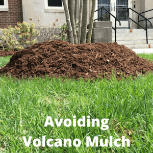picture of mulch volcano on UConn Storrs campus with text avoiding mulch volcano