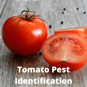 tomatoes on a table with words tomato pest identification